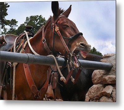 Laughing Mule Metal Print by Jeanne  Woods