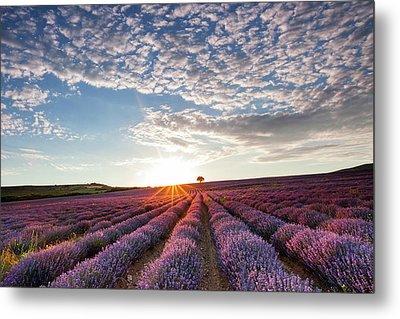 Lavender Metal Print by Evgeni Dinev