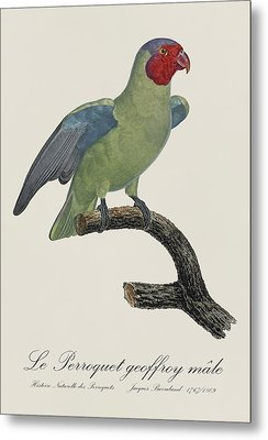 Le Perroquet Geoffroy Male / Red Cheeked Parrot - Restored 19th C. By Barraband Metal Print