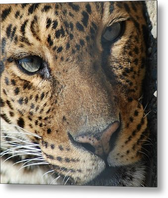 Metal Print featuring the photograph Leopard Face by Richard Bryce and Family