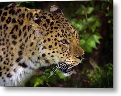 Metal Print featuring the photograph Leopard by Steve Stuller