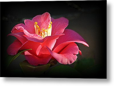 Metal Print featuring the photograph Lighted Camellia by AJ Schibig