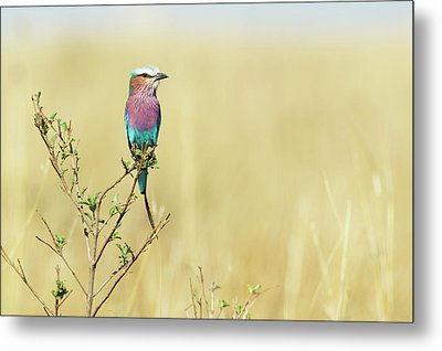 Lilac-breasted Roller (coracias Caudata) Metal Print