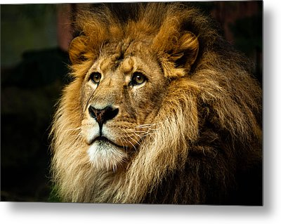 Lion Metal Print by Ann Clarke Images