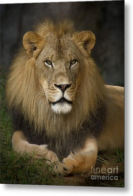 Lion In Repose Metal Print by Warren Sarle