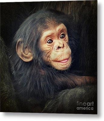 Little Chimpanzee Metal Print