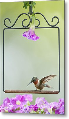 Little Hummer Inspecting The Garden Metal Print by Bonnie Barry