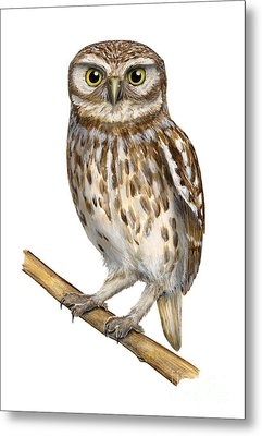Metal Print featuring the painting Little Owl Or Minerva's Owl Athene Noctua - Goddess Of Wisdom- Chouette Cheveche- Nationalpark Eifel by Urft Valley Art