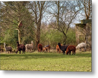 Metal Print featuring the photograph Alpacas In Scotland by Jeremy Lavender Photography