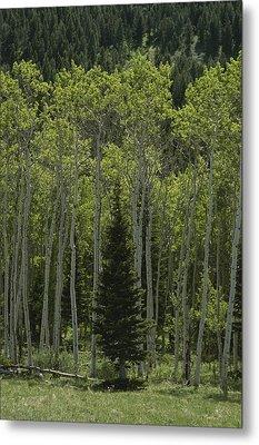 Lone Evergreen Amongst Aspen Trees Metal Print by Raymond Gehman