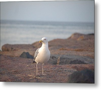 Metal Print featuring the photograph Lone Gull by  Newwwman
