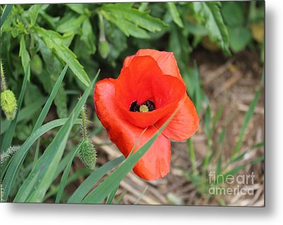 Lonesome Poppy Metal Print