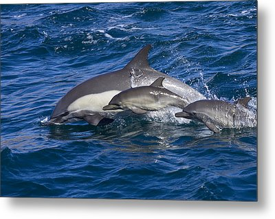 Long-beaked Common Dolphins, Delphinus Metal Print by Ralph Lee Hopkins