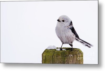Long-tailed Tit On The Pole Metal Print by Torbjorn Swenelius