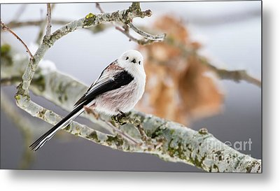 Long-tailed Tit Metal Print by Torbjorn Swenelius
