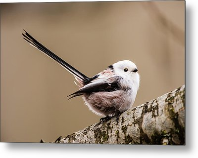 Long-tailed Tit Wag The Tail Metal Print by Torbjorn Swenelius