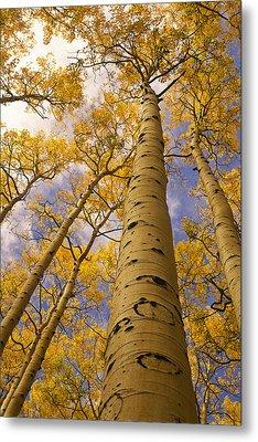 Looking Up At Towering Aspen Trees Metal Print