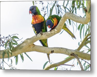 Metal Print featuring the photograph Lorrikeets 01 by Werner Padarin