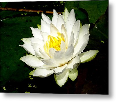Lotus Blossom Metal Print by Bruce Ritchie