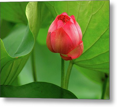 Lotus Flower Metal Print by Harry Spitz