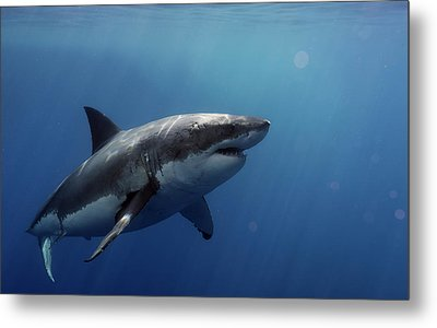 Lucy Posing At Isla Guadalupe Metal Print by Shane Linke
