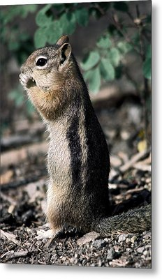 Metal Print featuring the photograph Lunchtime For Ground Squirrel by Sally Weigand