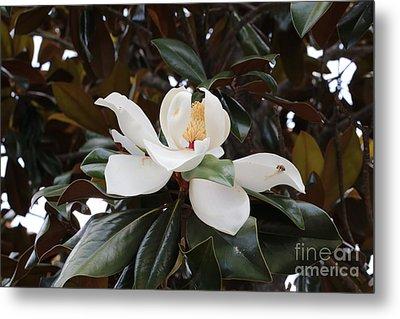 Magnolia Grandiflora With Leaves Metal Print