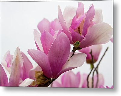 Magnolia's Grandeur Metal Print by Gwen Vann-Horn