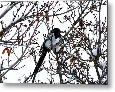 Metal Print featuring the photograph Magpie In A Snowstorm by Will Borden