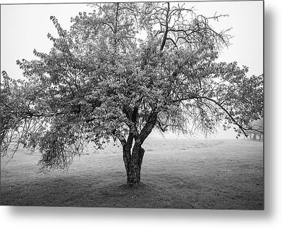 Metal Print featuring the photograph Maine Apple Tree In Fog by Ranjay Mitra