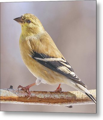 Male American Goldfinch In Winter Metal Print by Jim Hughes