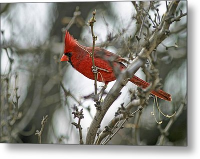 Male Cardinal Metal Print by Gregory Scott