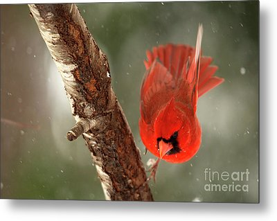 Metal Print featuring the photograph Male Cardinal Take Off by Darren Fisher