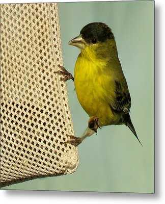 Male Goldfinch On Sock Feeder Metal Print