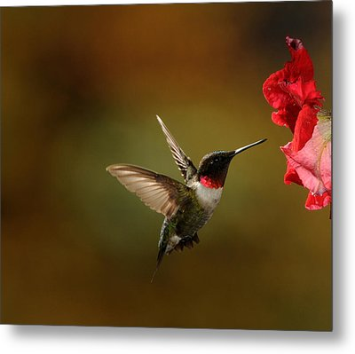 Male Ruby Throated Hummingbird Metal Print by Mike Martin