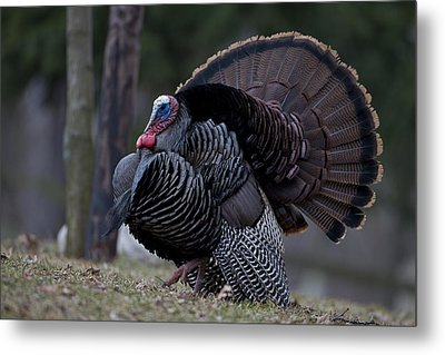 Male Wild Turkey, Meleagris Gallopavo Metal Print