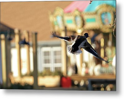 Mallard Duck And Carousel Metal Print by Geraldine Scull