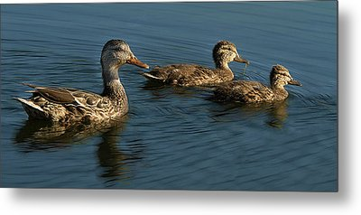 Metal Print featuring the photograph Mallard Family Outing by Jean Noren