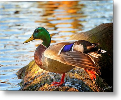 Mallard Stretch Metal Print