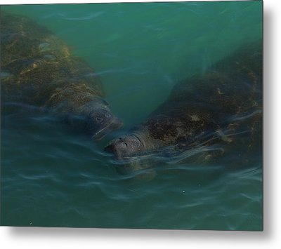 Metal Print featuring the photograph Manatees Head For Air by Lynda Dawson-Youngclaus