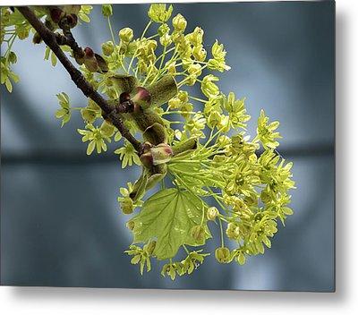 Maple Tree Flowers 2 - Metal Print