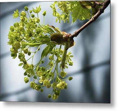 Maple Tree Flowers - Metal Print