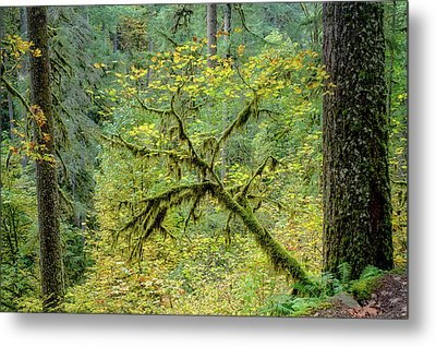 Maple With Douglas Firs Metal Print