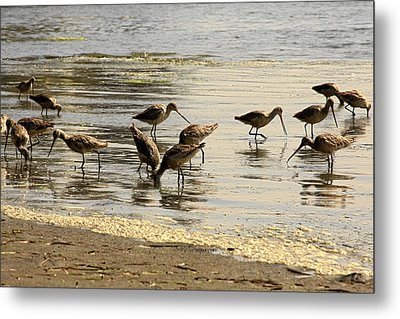Marbled Godwit Birds At Sunset Metal Print by Christine Till