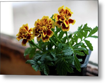 Marigold In Winter Metal Print by Jeff Severson