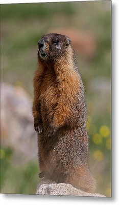 Metal Print featuring the photograph Marmot by Gary Lengyel