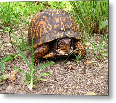 Maryland Box Turtle Metal Print