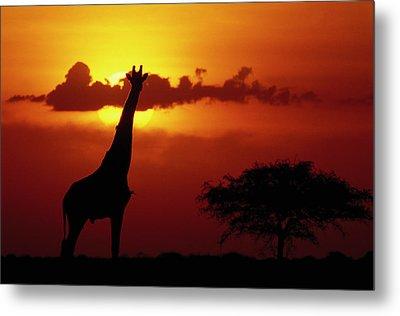 Masai Giraffe Giraffa Camelopardalis Metal Print by Gerry Ellis