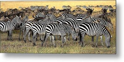 Masai Mara, Kenya Herd Of Burchells Metal Print
