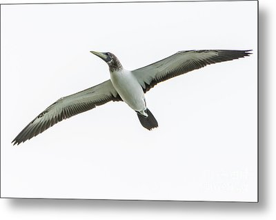 Metal Print featuring the photograph Masked Booby 02 by Werner Padarin